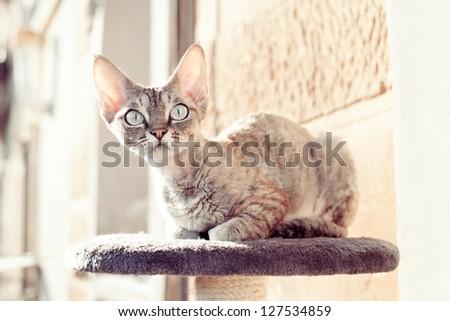 Devon rex cat sitting on the balcony on scratching post