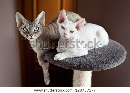 devon rex cats sitting on scratching post