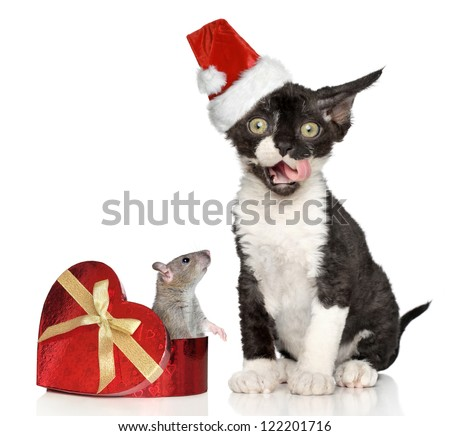Devon Rex kitten in Santa hat with mouse in heart box posing on a white background