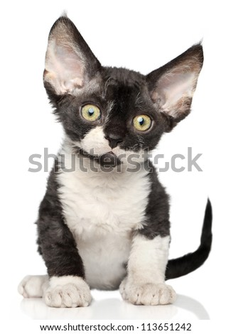Devon Rex kitten on a white background