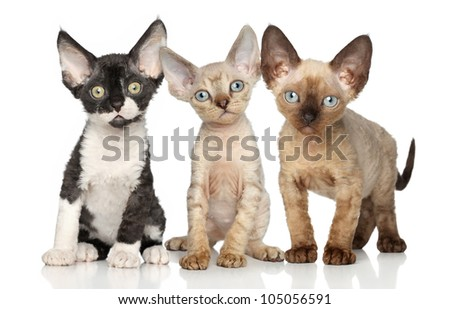 Devon Rex kittens posing on a white background