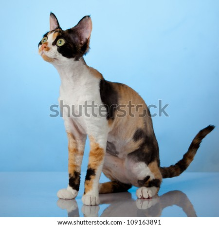 Devon Rex on blue background