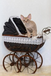 Devonrex kitten sitting in an old baby stroller