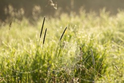 Dew covered cobwebs at dawn in a cool summer morning in a meadow