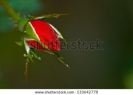 Dew covered rose bud