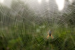 Dew covered spiderweb with an oak spider in the center, selective focus