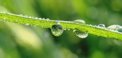 Dew Drops. Dew drops appear to glitter at the tips of the green grass in a tropical rice field. Macro photography.