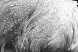 dew drops in black and white on the wing of a swan, very close up with details of feathers and water drops. UK, conservation