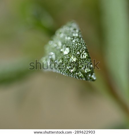 dew drops on a sage in the garden