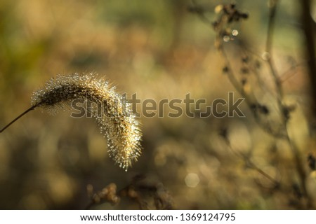Dew drops on fluffy autumn spikelets of grass glisten in the sun