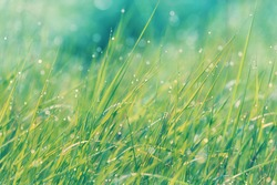 Dew drops on fresh green grass in close-up