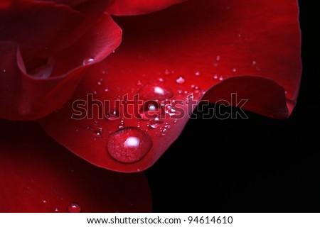 dew drops on rose petal - stock photo