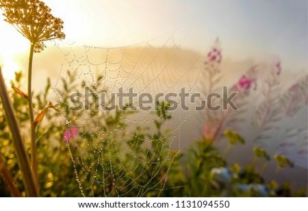 Dew drops on spider web in foggy field in morning. Spider web dew macro view. Spider web dew drops in morning field background