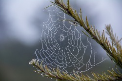 Dew Drops on Spider Web on Foggy Morning