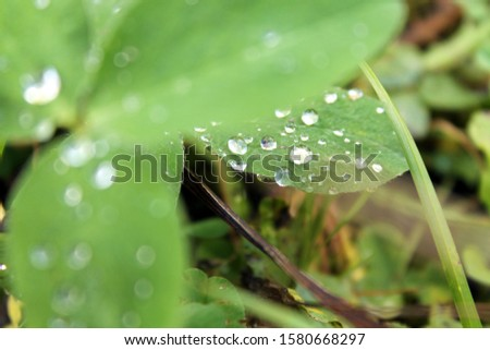 Dew drops on the leaves of a four-leaf clover on a summer morning #1580668297