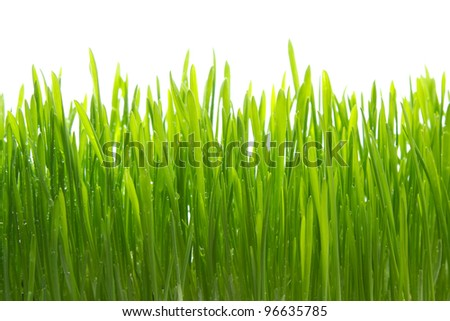 Dew on grass on white background
