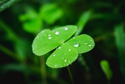 Dew on leaves,Dew on Clover leaves.Raindrop fallen on the green clover leaf.