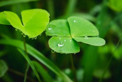 Dew on leaves.Drop of dew in morning on clover leaf.Raindrop fallen on the green clover leaf.