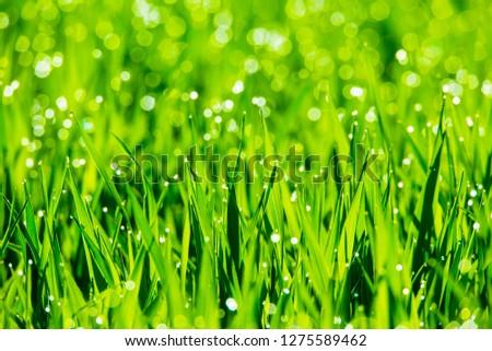 Dewdrops glisten on a meadow in the morning sun