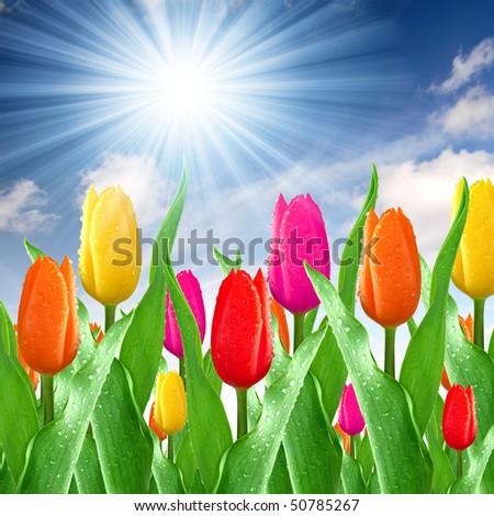dewy color tulips