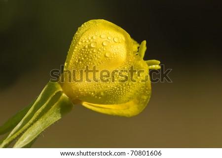dewy flower of oenothera erythrosepala