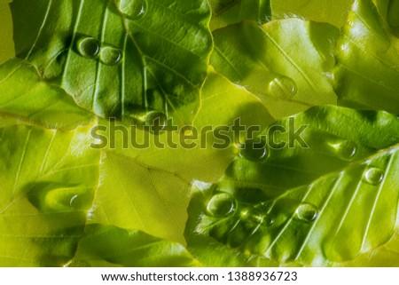 dewy leaf with rain drops - macro detail #1388936723