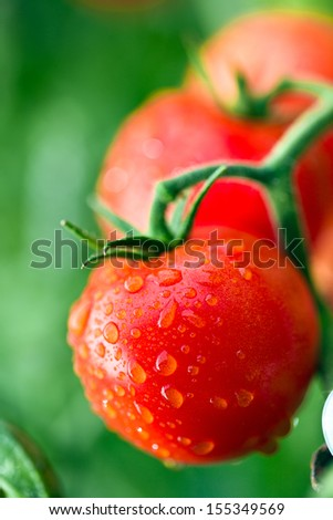 dewy red tomatoes on twig