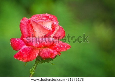 dewy rose flower