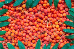 Dewy rowan berries with stalks and frame from green leaves. Top view of red pomes of rowan tree (sorbus aucuparia). Fall season concept. Harvest time