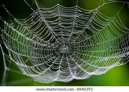 dewy spider web against dark foliage