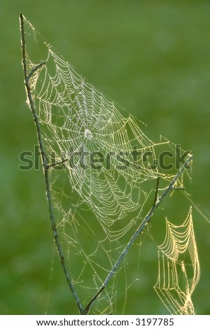 dewy spider web in morning sun