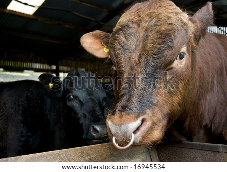 Dexter bull with nose ring and female Dexter cow behind