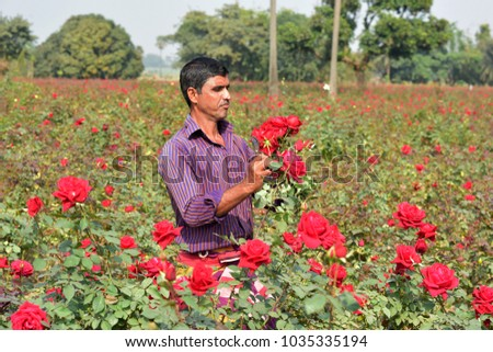 DHAKA, BANGLADESH - FEBRUARY 07, 2017: Bangladeshi farmer collects rose from their field during flower harvest at Birulia, Savar, Bangladesh on February 07, 2017. #1035335194