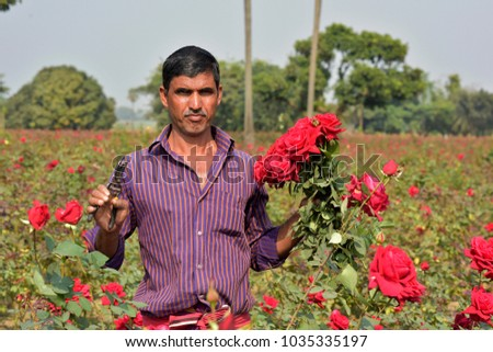 DHAKA, BANGLADESH - FEBRUARY 07, 2017: Bangladeshi farmer collects rose from their field during flower harvest at Birulia, Savar, Bangladesh on February 07, 2017. #1035335197