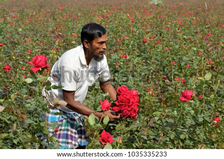 DHAKA, BANGLADESH - FEBRUARY 07, 2017: Bangladeshi farmer collects rose from their field during flower harvest at Birulia, Savar, Bangladesh on February 07, 2017. #1035335233