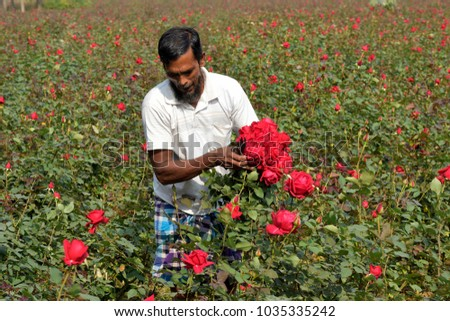 DHAKA, BANGLADESH - FEBRUARY 07, 2017: Bangladeshi farmer collects rose from their field during flower harvest at Birulia, Savar, Bangladesh on February 07, 2017. #1035335242