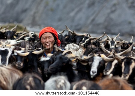DHO TARAP, NEPAL - SEPTEMBER 08: An unidentified Tibetan nomad with goats during the local Dho Tarap Full Moon Festival on September 08, 2011 in Dho Tarap Village, Dolpo district, Nepal