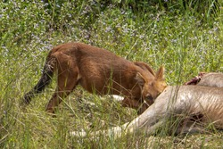 dhole, asiatic wild dog  Cuon alpinus Canidae Killing deer prey and eating in the forest