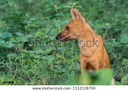 Dhole (Asiatic Wild Dog) sitting in forest #1152138704