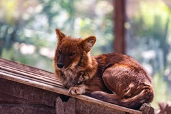 Dhole or Cuon alpinus, other English names for species include Indian wild dog, whistling dog, chennai, Asiatic wild dog, red wolf, red dog and mountain wolf