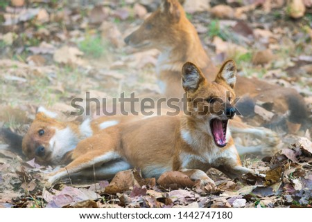 dhole wild dog in Kanha National Park #1442747180