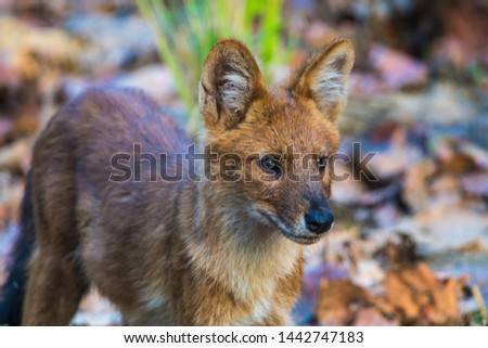 dhole wild dog in Kanha National Park #1442747183