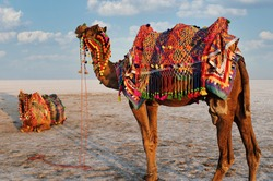 Dhordo, Gujarat - India - December 18 2019: Decorated camels in Rann Utsav at White Rann of Kutch. Camels wait for tourist. Selective focus.