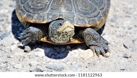 Diamondback Terrapin Turtle Forsythe National Wildlife Refuge, NJ - Shutterstock ID 1181122963