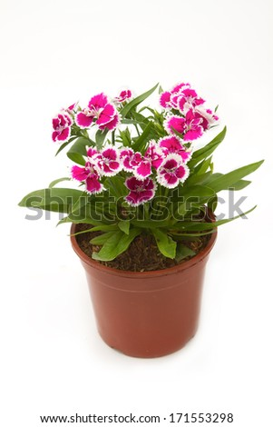 Dianthus Chinensis Flowers,China Pink, Indian Pink in flower pot #171553298