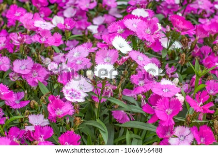 Dianthus flowers in the park