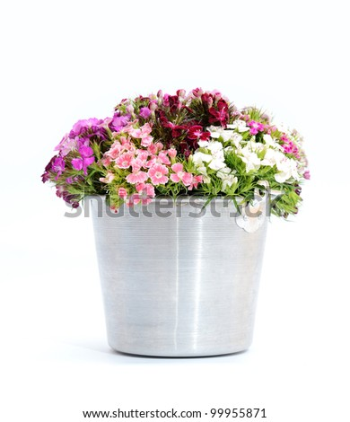 Dianthus flowers (sweet william) - stock photo