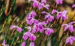 Dianthus plumarius(binomial name), common pink, garden pink, or wild pink flowers in the meadow