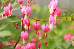 Dicentra, Bleeding Heart flower, macro, some flowers in focus, some are not