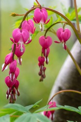 Dicentra spectabilis bleeding heart flowers in hearts shapes in bloom, beautiful Lamprocapnos pink white flowering plant, green leaves on branches, springtime ornamental garden